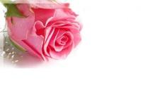 rosa lindíssima